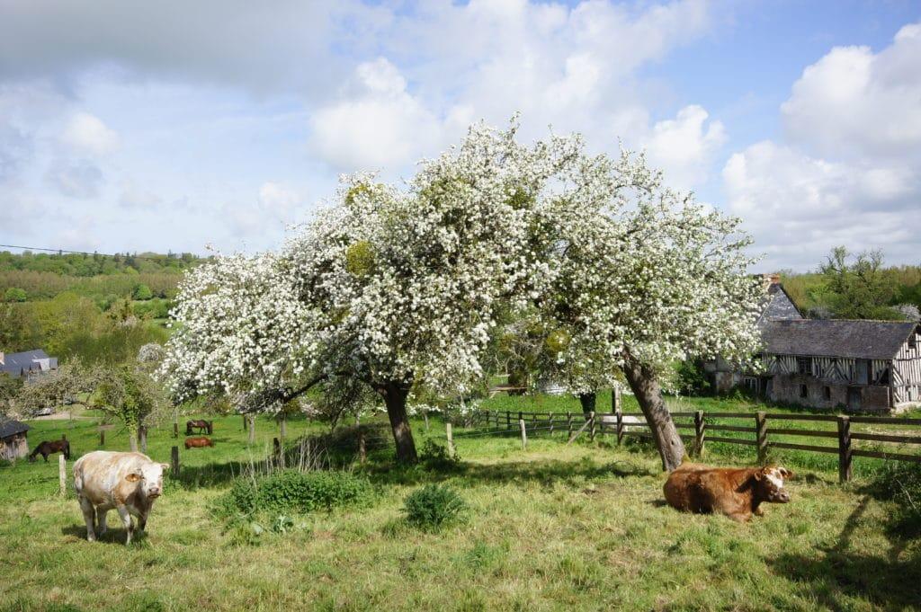 pommiers en fleur avec des vaches couchée ainsi que des chevaux