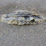 coquillage sur la plage de sable fin